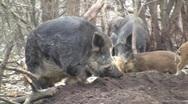 Wild boar hog (Sus scrofa scrofa) taking a rest in the wilderness  Stock Footage