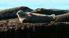 Wild Seal On Rock Stock Footage