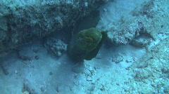 Green Moray Eel - stock footage
