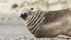 Male elephant seal Stock Footage