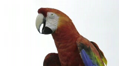 Red Macaw head close-up isolated on white  - stock footage