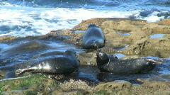 Wild Seals On Rock Stock Footage