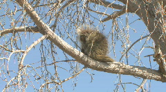 P00759 Porcupine in Cottonwood Tree Stock Footage