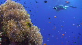 Diver passing by Magnificent Anemone HD Footage
