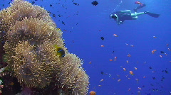 Diver passing by Magnificent Anemone Stock Footage