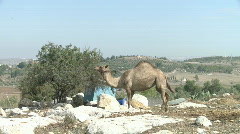 Camel 3 Stock Footage