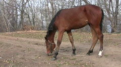 A brown color saddle horse grazing on the dirt road   Stock Footage