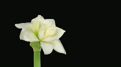 "Time-lapse opening ""Alfresco"" white amaryllis Christmas flower alpha matte 1 - stock footage"