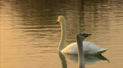 Grace white swan Stock Footage