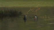 Stock Video Footage of MallardsSwimmingEatingInPond1