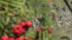 Rowan Tree With Red Berry In The Wind Stock Footage
