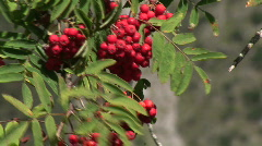 HD1080i Sorbus with red fruit - European Rowan (Mountain ash) Stock Footage