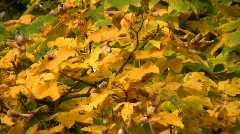 Autumn colours - stock footage