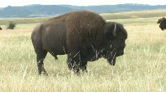 P00761 Bison Bull on the Great Plains Stock Footage