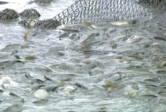 Fish in the Trawl Stock Footage