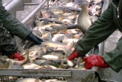 Fish Sorting - Montage - stock footage