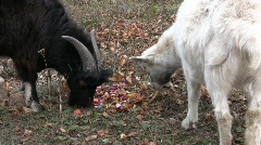 Couple of the domestic goats feeding on the food waste Stock Footage