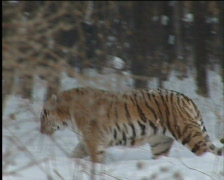 Tiger, taiga Stock Footage