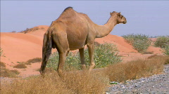 camel walk on street - stock footage