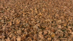 Dry autumn poplar leaves taken away by the gust - stock footage