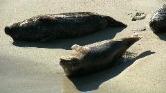 Wild Seals On Beach Stock Footage