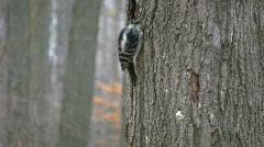Woodpecker. Stock Footage