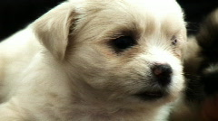 Single White Puppy 2 - stock footage