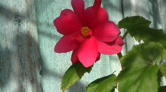 Close-up of a bright rosy begonia flower swaying in the wind  Stock Footage