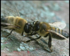 Bees. Сlose up Stock Footage
