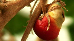 Drought hit tomato plant 2 Stock Footage