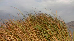 Autumn narrow-leaved cat's-tail leaves (Typha angustifolia) swaying in the wind  Stock Footage
