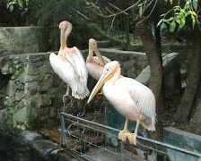 Three pink pelicans Stock Footage