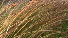 Close-up of the autumn narrow-leaved cat's-tail leaves (Typha angustifolia) sway Stock Footage