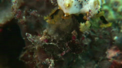 Dendritic tentacles of a sea cucumber while feeding (Bohadschia graeffei) - stock footage