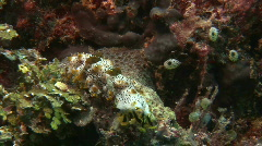 sea cucumber while feeding (Bohadschia graeffei) Stock Footage