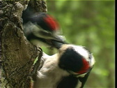 Woodpecker and baby bird Stock Footage