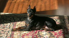 Miniature Pinscher basking in the sun Stock Footage