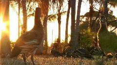 Whistler ducks at sunset Stock Footage