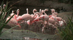 Flamingos Drink from Lake Stock Footage
