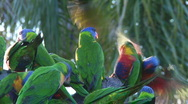 Stock Video Footage of Rainbow Lorikeets fighting