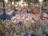Stock Video Footage of Chicken farm