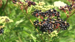 Elderberry in the wind Stock Footage
