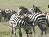 Zebra fighting in Serengeti Stock Footage