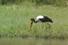 Saddle-billed Stork Feeding Stock Footage