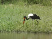 Stock Video Footage of Saddle-billed Stork Feeding