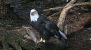 Stock Video Footage of Bald Eagle Full View