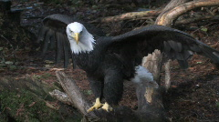 Bald Eagle tests its wings Stock Footage