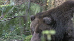 Brown Bear Roaming 2 - stock footage