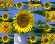 Sunflower Stock Footage
