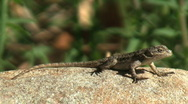 Lizard Sunning On Rock In Chaparral Stock Footage